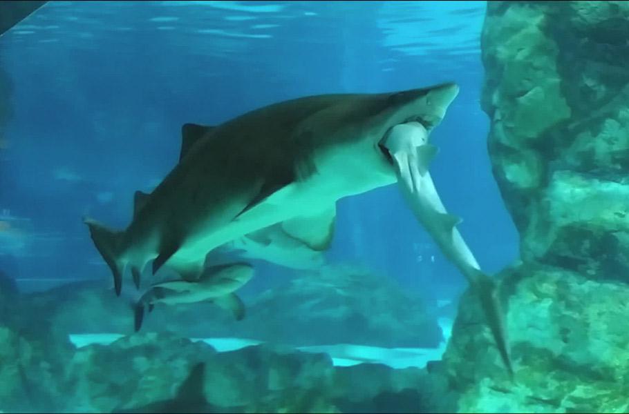 Cannibal_Sharks