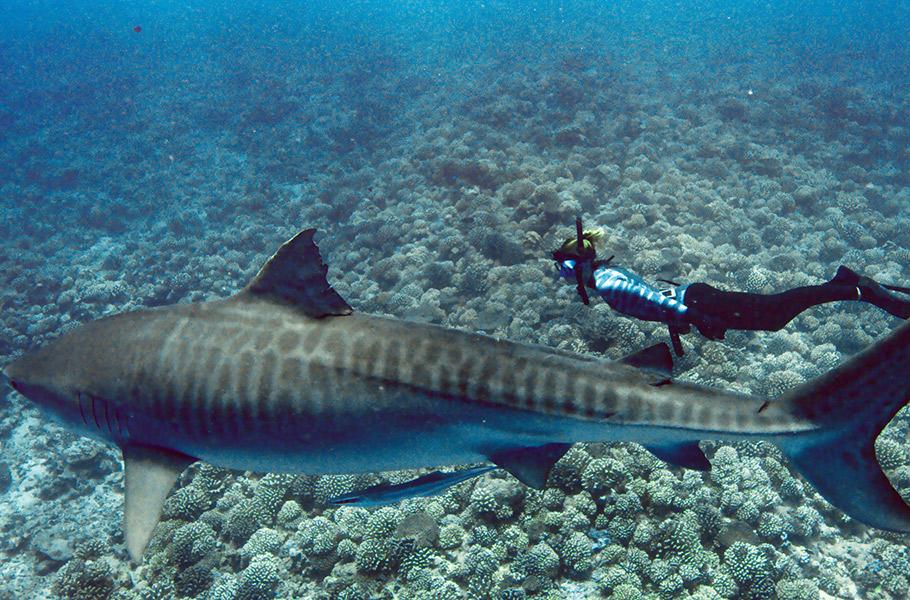 World_s_Biggest_Tiger_Shark